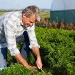 Luomuruoka – terveellisempää kuin tavallinen?