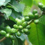 Painonhallintaa pillereillä? – testissä vihreä kahvi -kapselit