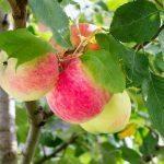 Haukkaa kotimaista omenaa